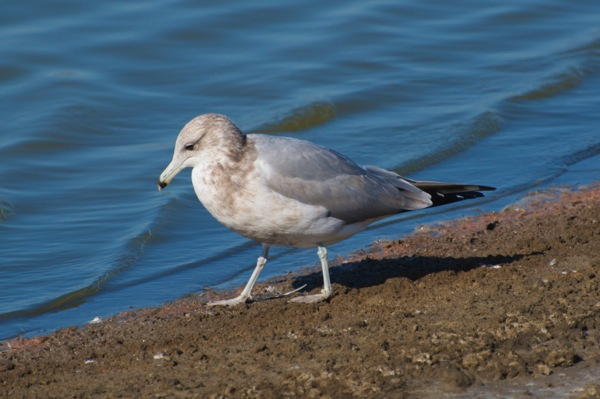 California gull Larus californicus 3cy