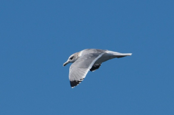 California gull Larus californicus 3cy 1