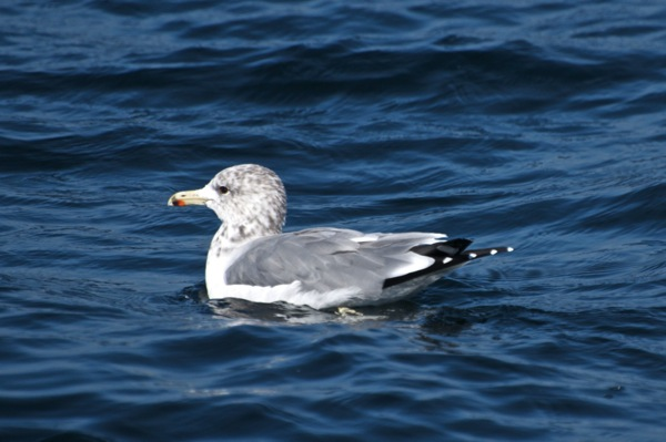 California gull Larus californicus Ad 1