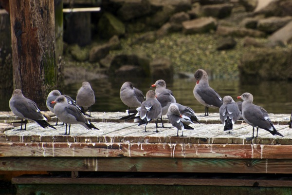 Heermann s gull Larus heermanni1