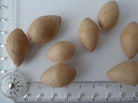 """Ginkgo """"seeds""""."""