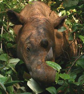 537px-sumatran_rhinoceros_way_kambas_2008_crop