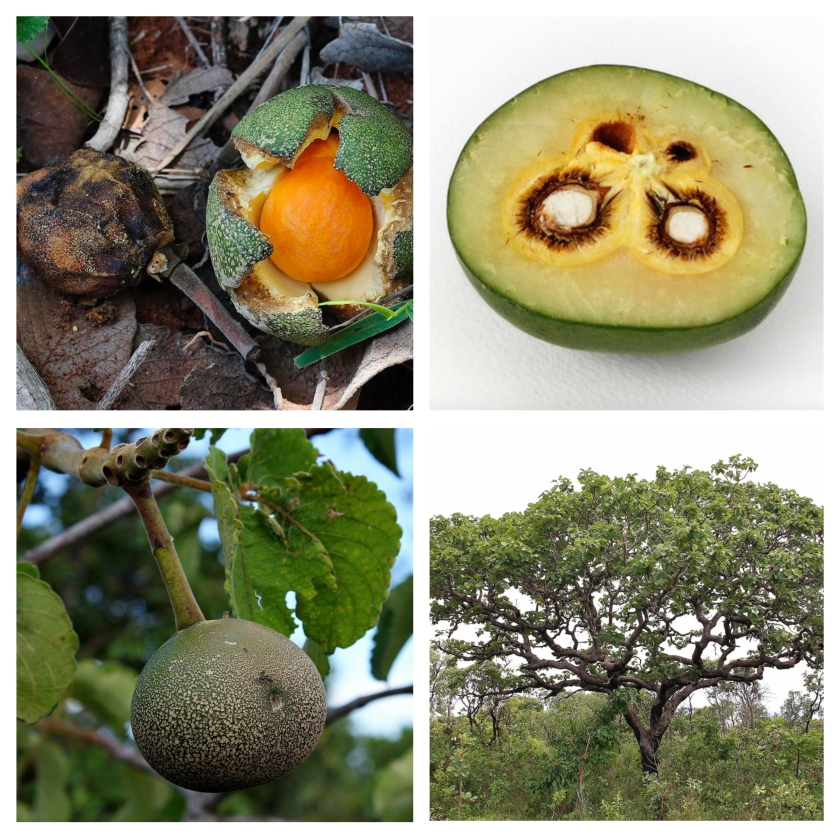 "The pequi, Caryocar brasilense, is an example of a seed dispersal anachronism. The fruits (pequi, ""skin with spines"" in tupi-guarani), up to 10-12 cm in diameter, have internal spines in the pulp, surrounding the seeds. Each fruit has a single or very few large seeds resulting a large fruit with a hard pericarp. Field studies of fruit removal rates have reported extremely low actual dispersal of seeds away from maternal trees, the fruits simply rotting on the ground beneath the tree canopy. Virtually no diaspores are found buried by hoarding rodents, or preyed upon by these animals. Pequi is common in central Brazilian cerrado vegetation from southern Pará to Paraná and northern Paraguay. Photos by Mauricio Mercadante CC"