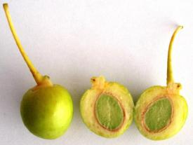 Ginkgo unripe fruits, cross-section.