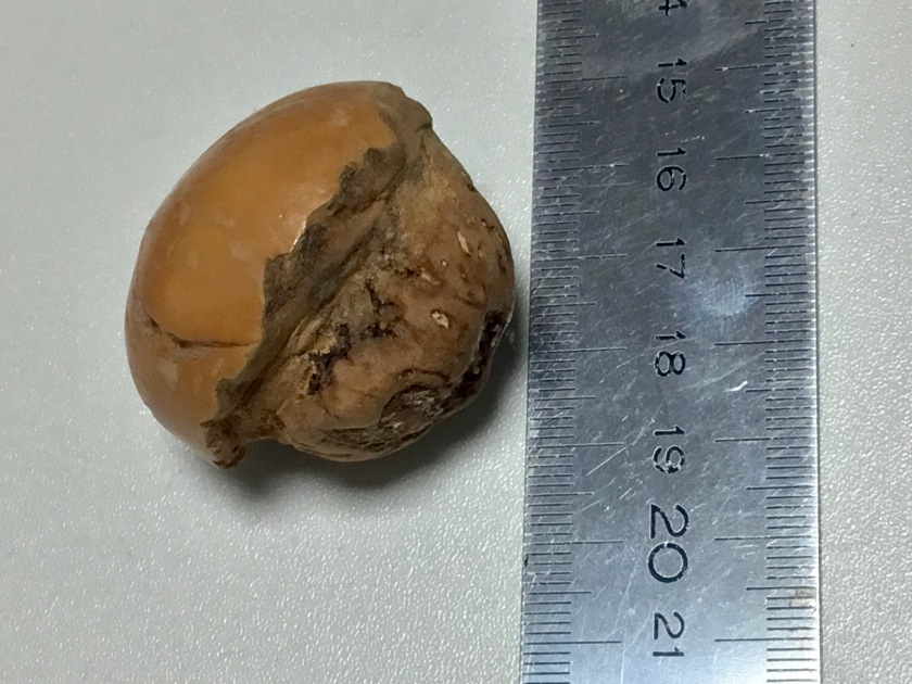 Tambalocoque seed