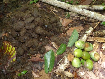 Seedling photos, Temenggor, Malaysia, from elephant dung: high aggregation of kijang (Irvingia malayana- wild almond, Irvingiaceae) seeds and fresh fruits for comparison.
