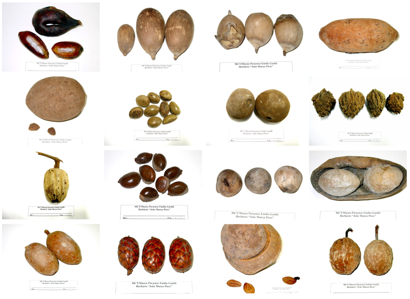 Seeds of fruits from megafauna-dependent plants