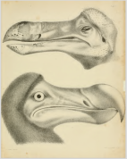 Strickland & Melville (1848) Plate I. View of the dodo head, Oxford University specimen.