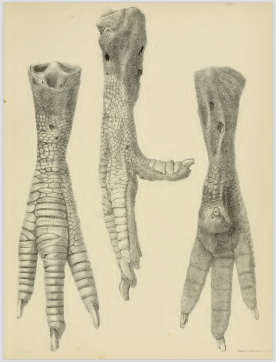 Strickland & Melville (1848) Plate VI.